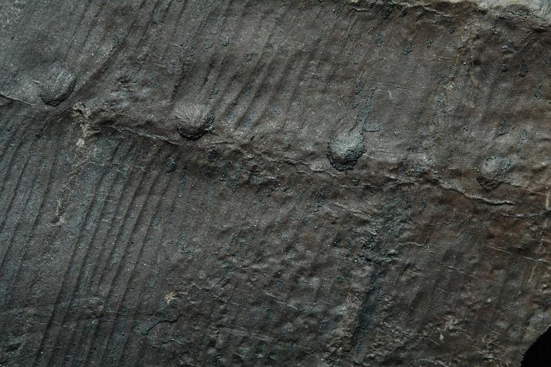Fossiles de Graissessac Gra_5011