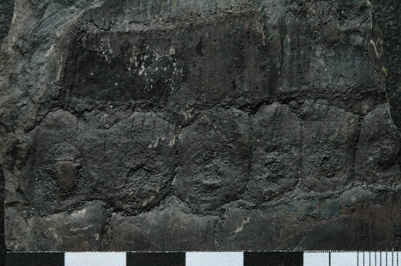 Fossiles de Graissessac Gra_5014