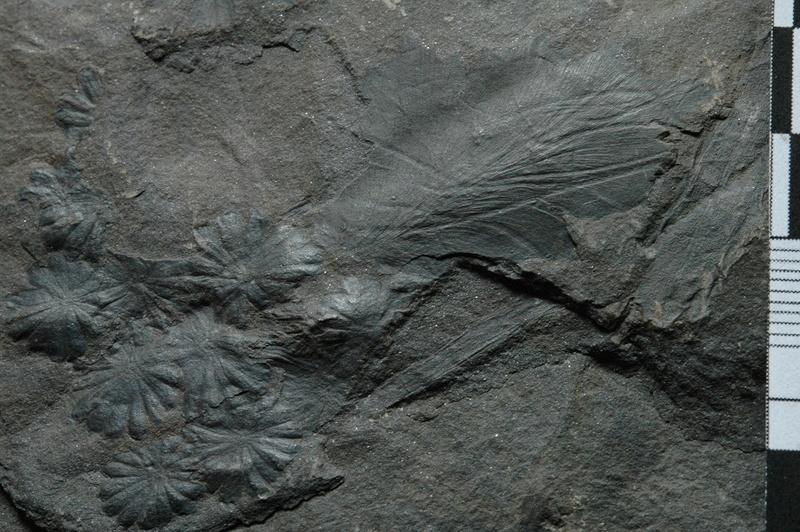 Fossiles de Graissessac Gra_5112