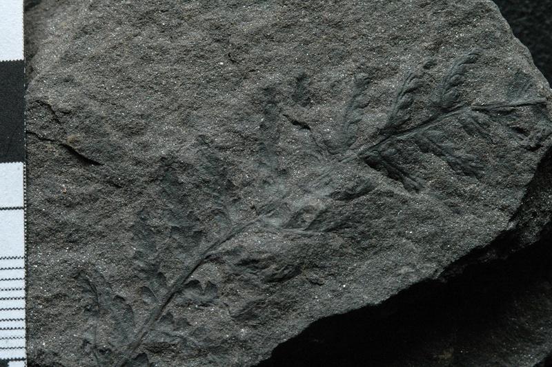 Fossiles de Graissessac Gra_5113