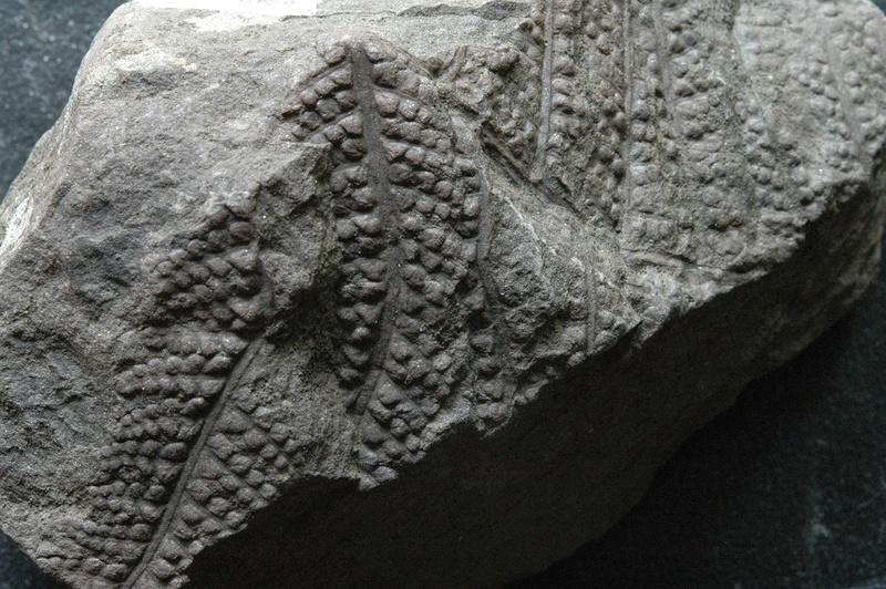 Fossiles de Graissessac Gra_5114