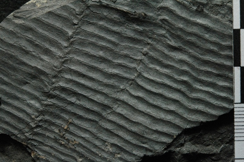 Fossiles de Graissessac Gra_5116