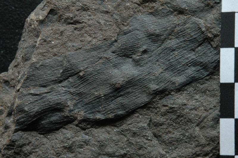 Fossiles de Graissessac Gra_5211