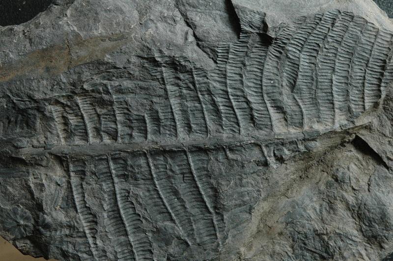 Fossiles de Graissessac Gra_5214