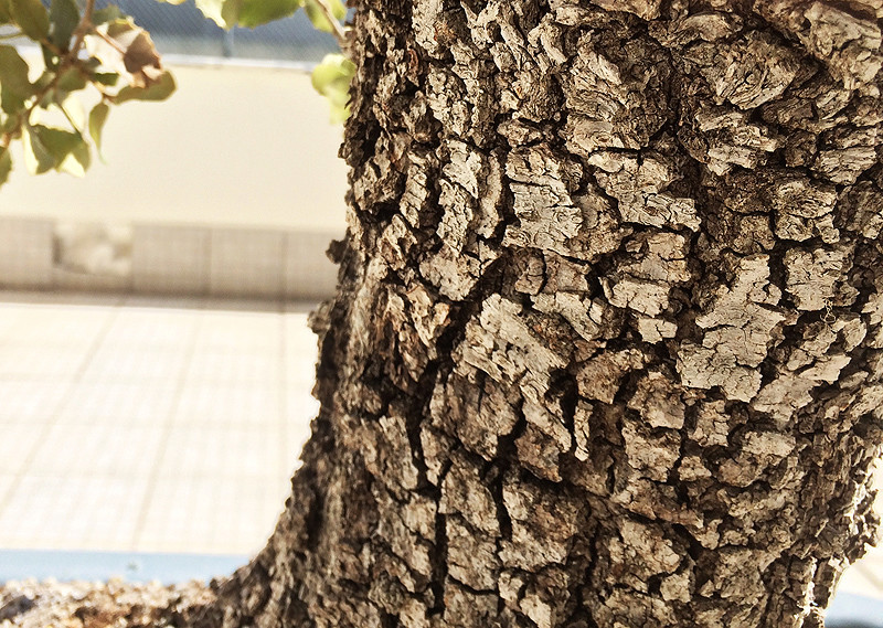 Quercus Ilex from Portugal! Img_1017