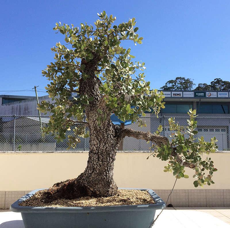 Quercus Ilex from Portugal! Img_1018