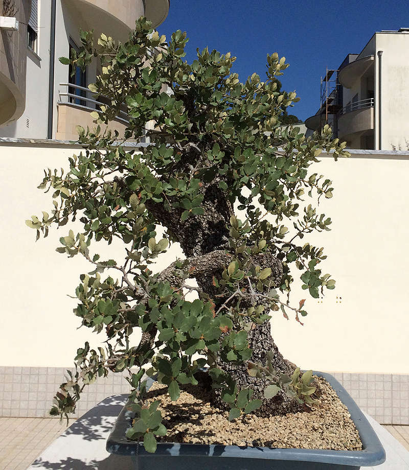 Quercus Ilex from Portugal! Img_1020