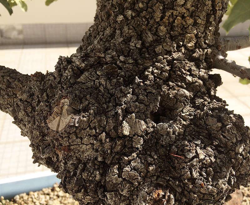 Quercus Ilex from Portugal! Img_1022