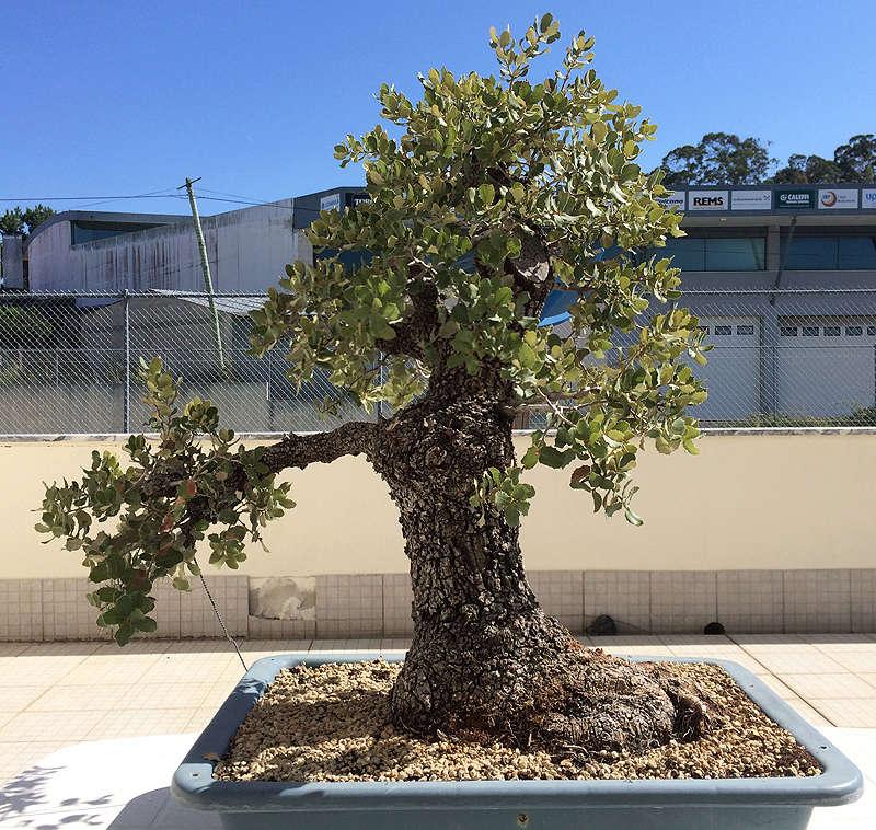 Quercus Ilex from Portugal! Img_1023