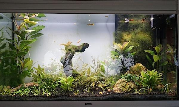 Aquarium Elégance Inox avec guppy et red cherry - Page 5 Dsc02212