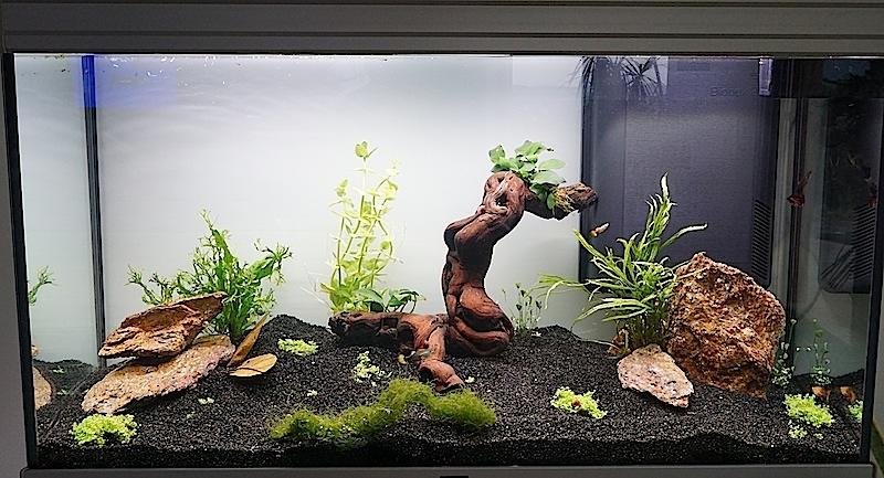 Aquarium Elégance Inox avec guppy et red cherry - Page 5 Dsc04611
