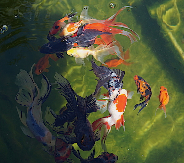 Bassin extérieur avec voiles de chine - Page 10 Dsc05417