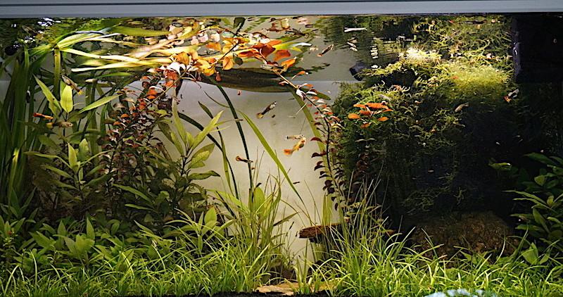 Aquarium Elégance Inox avec guppy et red cherry - Page 5 Dsc06815