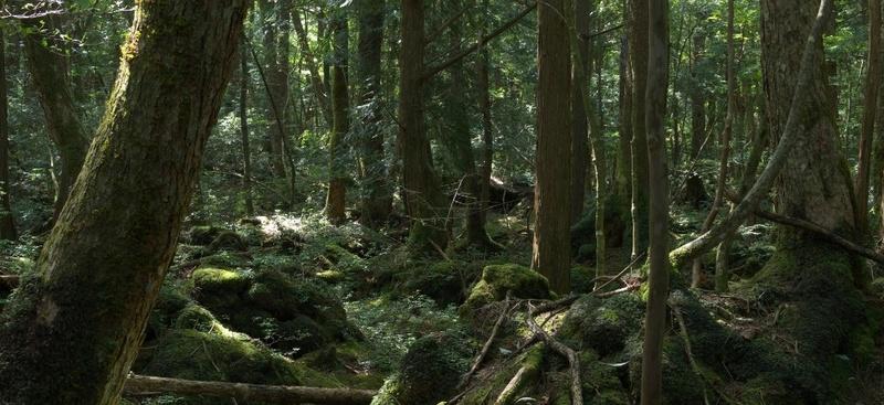 Forêt Aokigahara (Japon) Foret_10