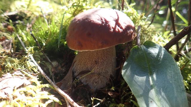 Nouvelle cueillette de champignons P8144111