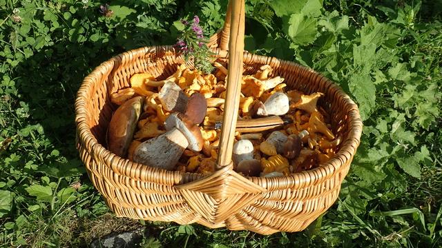 Nouvelle cueillette de champignons P8144114