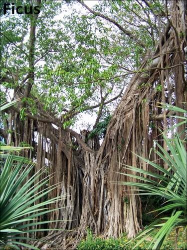 Jardin botanique de Deshaies 66_fic10
