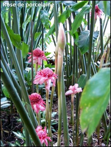 Jardin botanique de Deshaies 93_ros10