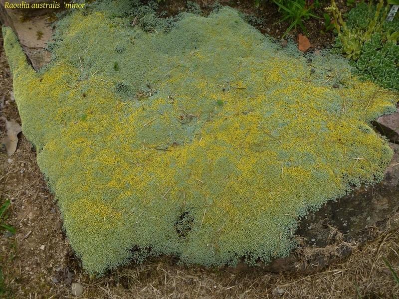 Raoulia australis P1030811
