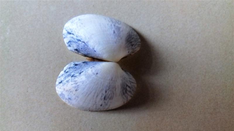 Coquillages bleus 20170610