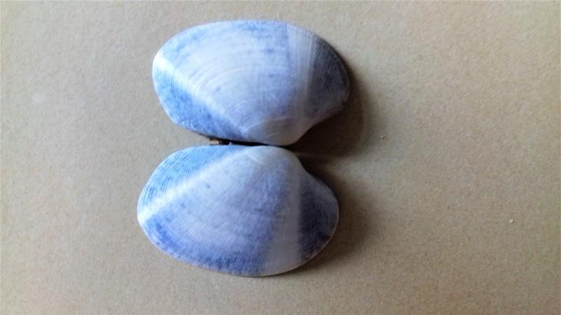 Coquillages bleus 20170611