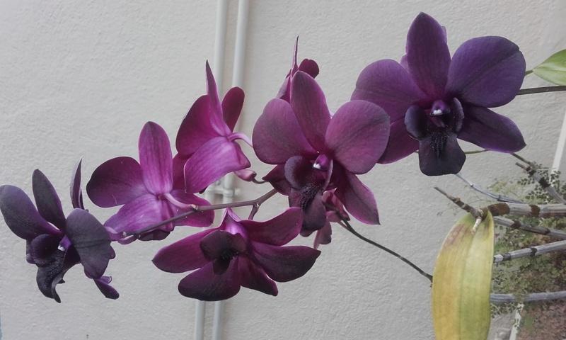 les orchidées de maman 20170310