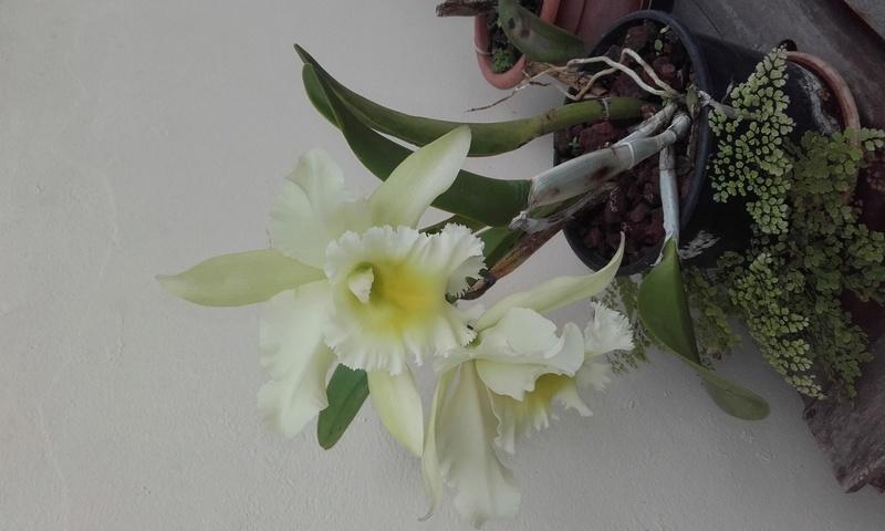 les orchidées de maman 20170312