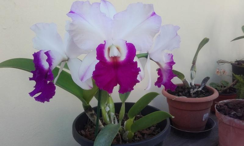 les orchidées de maman 20170510