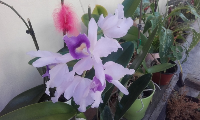 les orchidées de maman 20170511