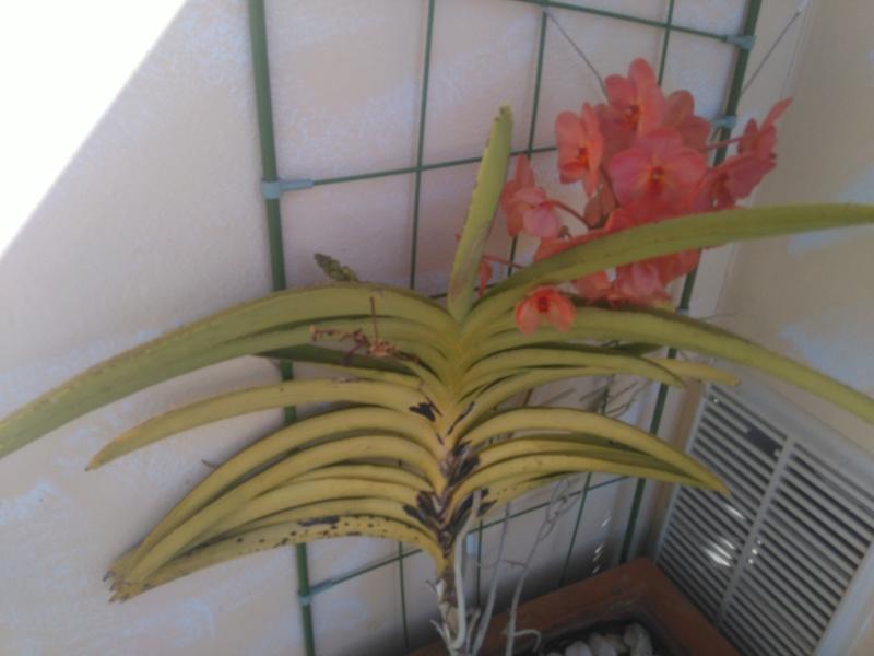 les orchidées de maman Dsc_8523