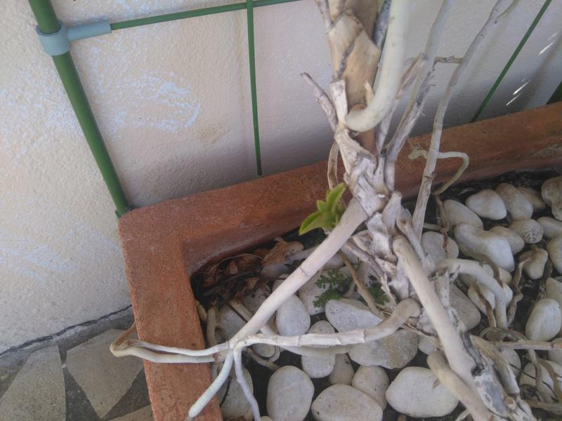 les orchidées de maman Dsc_8527