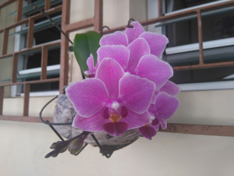 les orchidées de maman Dsc_8530