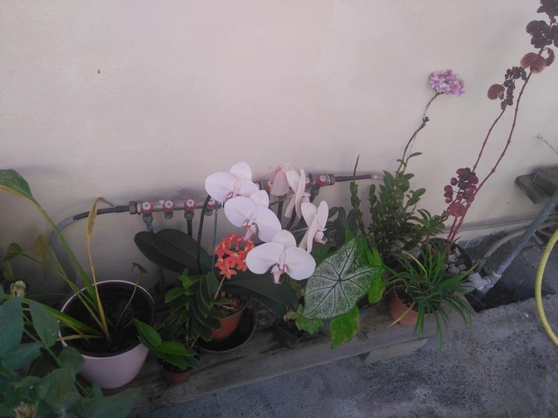 les orchidées de maman Dsc_8533