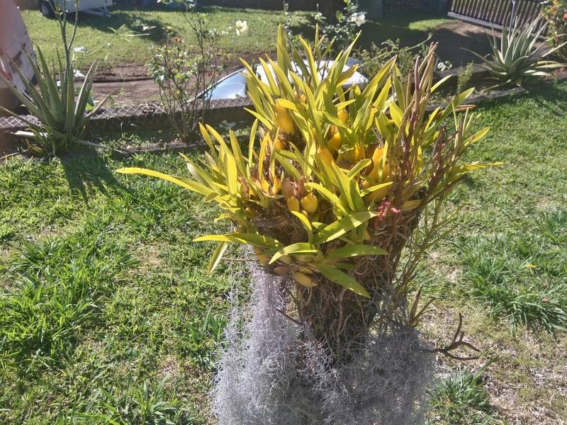 les orchidées de maman Dsc_8535