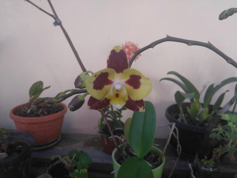 les orchidées de maman Dsc_8544