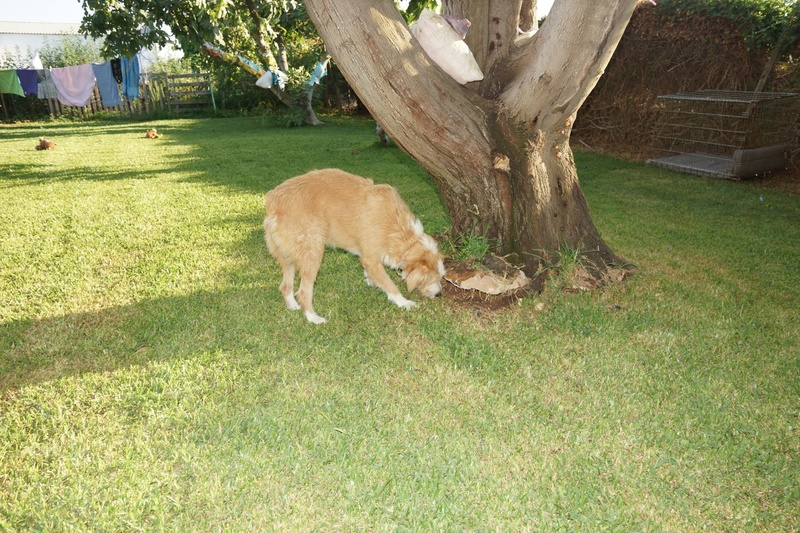 MIKI - berger australien 4 ans - Asso Une Histoire de Galgos - Extramadure (Espagne) 140