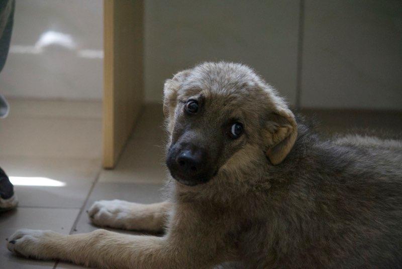 ALTO - chiot mâle - typé chien loup tchéchoslovaque - né environ mars 2017 - REMEMBER ME LAND  - décédé Alto10