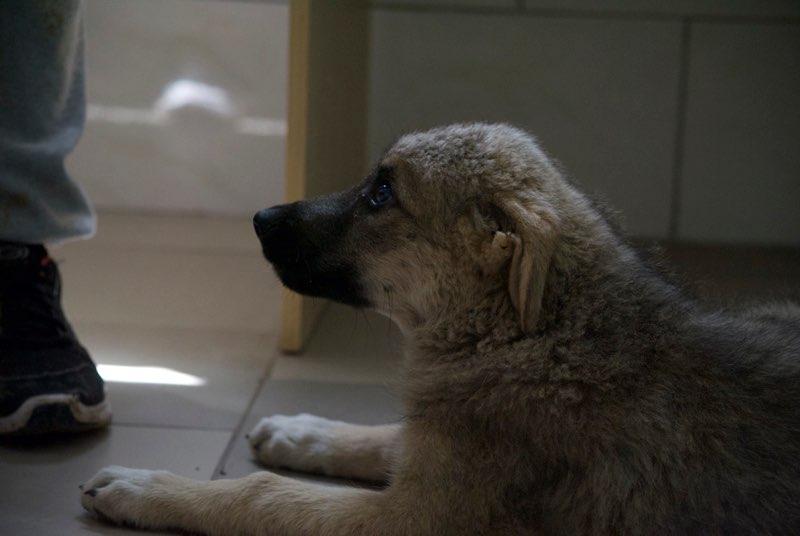 ALTO - chiot mâle - typé chien loup tchéchoslovaque - né environ mars 2017 - REMEMBER ME LAND  - décédé Alto110