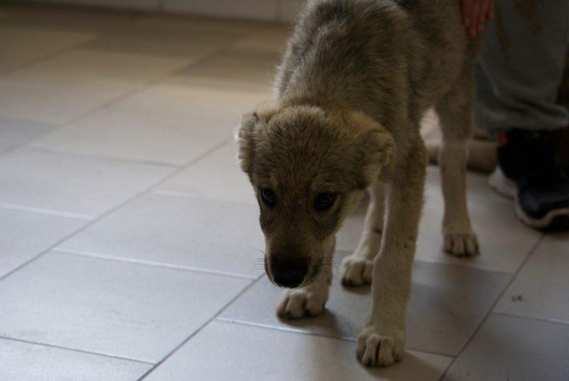MEZZO- chiot male typé chien loup tchéchoslovaque- né environ en mars 2017 - REMEMBER ME LAND  - adopté par Katy (55) Mezzo10