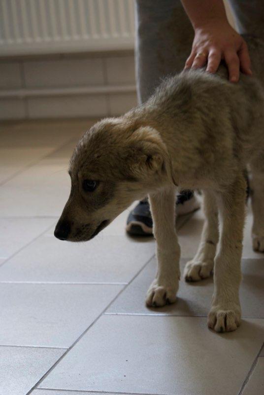 MEZZO- chiot male typé chien loup tchéchoslovaque- né environ en mars 2017 - REMEMBER ME LAND  - adopté par Katy (55) Mezzo110