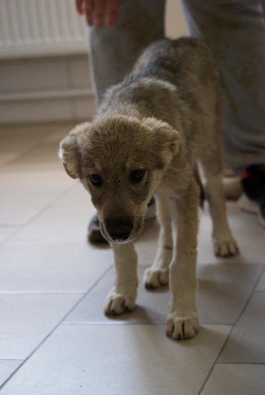 MEZZO- chiot male typé chien loup tchéchoslovaque- né environ en mars 2017 - REMEMBER ME LAND  - adopté par Katy (55) Mezzo210