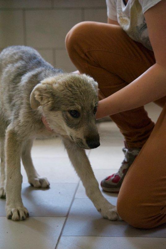 MEZZO- chiot male typé chien loup tchéchoslovaque- né environ en mars 2017 - REMEMBER ME LAND  - adopté par Katy (55) Mezzo310