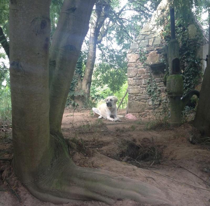 MAIKA, chiot femelle croisée berger d'Anatolie et montagne des pyrénées, 9 mois 20121010