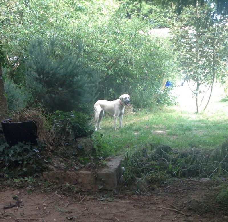 MAIKA, chiot femelle croisée berger d'Anatolie et montagne des pyrénées, 9 mois 20134610