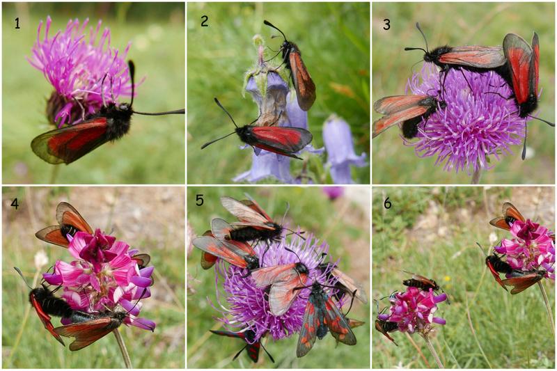 papillons de Maurienne (1er épisode) 1-pols10