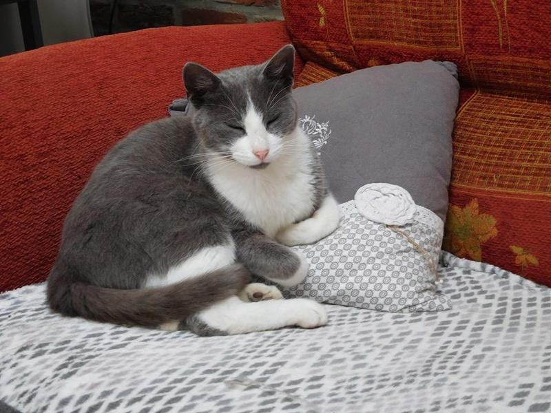 CERISE, chatte grise et blanche 20245610