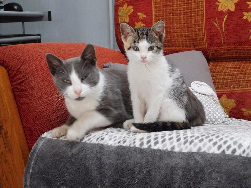 CERISE, chatte grise et blanche 20264810