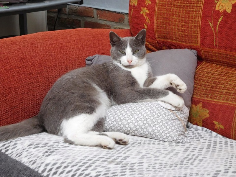 CERISE, chatte grise et blanche 20374210
