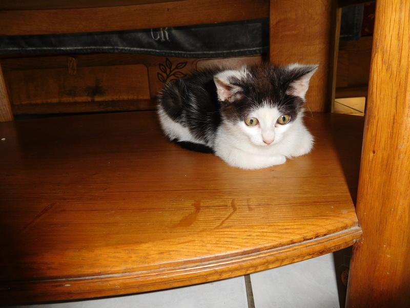 Nayade chaton noir et blanc 2 mois Dscn7711