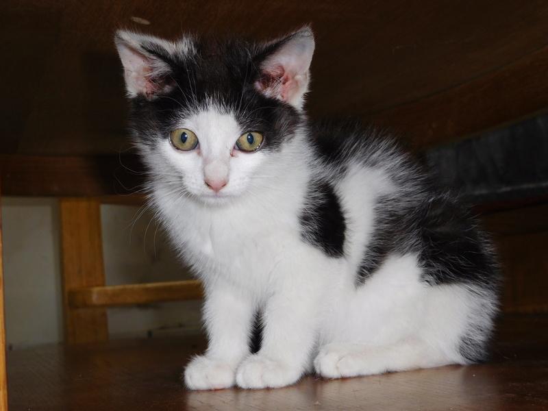 Nayade chaton noir et blanc 2 mois Dscn7712